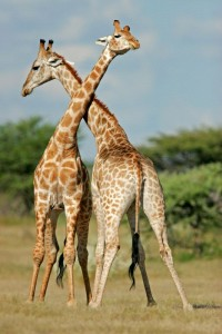 Two_Male_Giraffes_Fighting_600