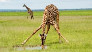 az_giraffe1