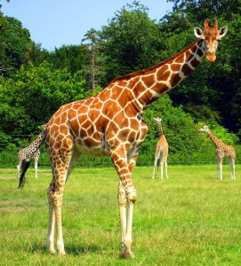 giraffe_background_picture