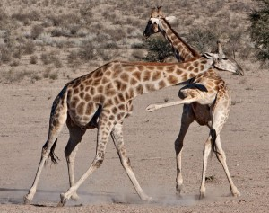 giraffes-fighting-mating-rights